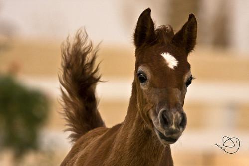 arbian Horse by Jarrah Bellucci on Flickr.