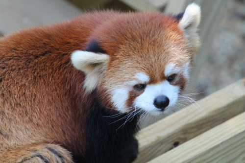 theanimalblog:  Red Panda, submitted by duh-jango  Red pandas are amazing