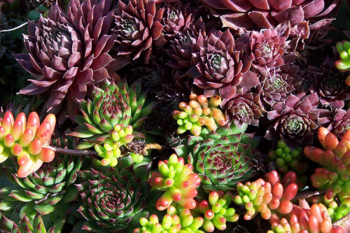 flora-file:  succulents (by qofd)