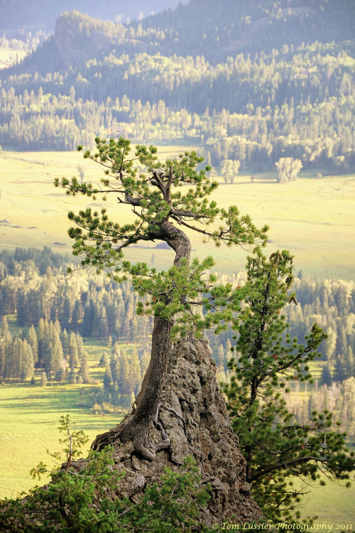 unwrittennature:  Wolf Creek Pass Bonsai (by Tom Lussier Photography)