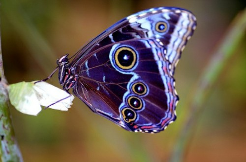 Blue Morpho. Photo by Skydiver_hh