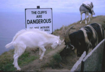 goatsonthings:  Goats on a cliff.  Goats can read, and they don't care.