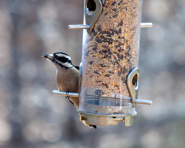 Female Downy Woodpecker Jan 2013 on Flickr.