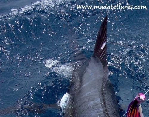 Marlin bleu pris sur Popmad en Guadeloupe