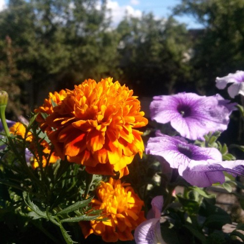 Love dem Marigolds. My view is floral.