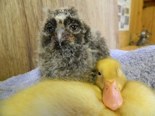 "Guess who are best friends? This duckling and this fuzzy baby owl.  According to Buzzfeed: ""A 24 day old Long-eared Owl named Lars, and a White-crested Runner Duck named Chop-suey, have become fast friends at the Kirkleatham Owl Center. These photos were taken on their second day of meeting. They love to cuddle."" We can't deal."