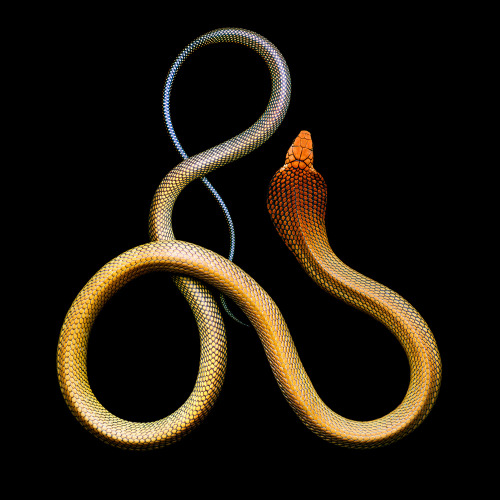 Ophiophagus hannah, commonly called the king cobra (via Wired)