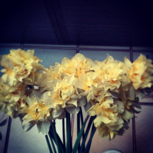 One of my favourite flowers: Narcissus #instagram #instamood #instaitalia #instapic #instadaily #good #personal #mine #me #instabeauty #flowers #gift #girl #yellow #spring #nice #photo #photography #italia #italian #italy