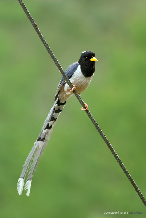 thalassarche:  Yellow-billed Blue Magpie (Urocissa flavirostris) - photo by Sandeep Somasekharan