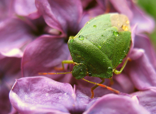 giraffe-in-a-tree:  Green shieldbug on lilac by nutmeg66 on Flickr.