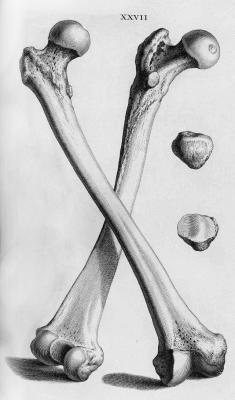 Illustration skeleton bones Anatomy science biology medicine Scientific Illustration