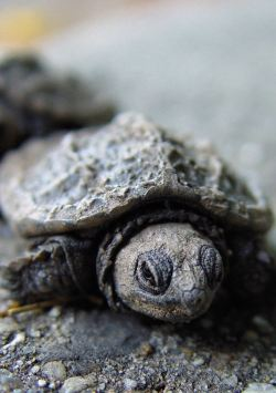 animals uploads baby grey turtles