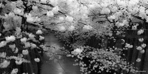 sakura on Flickr.