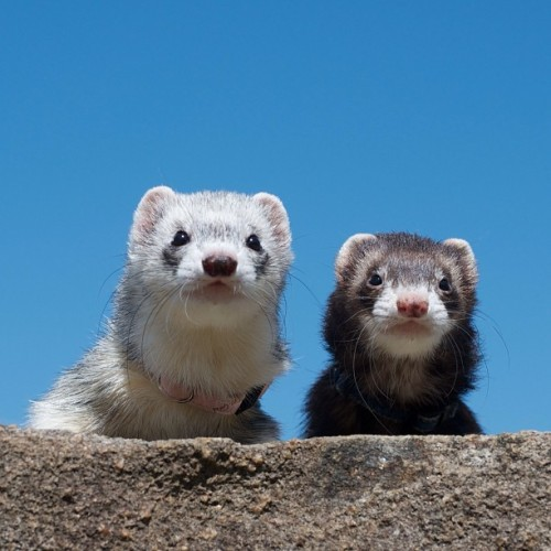 PHOTO OP: Ferret Bueller's Day Off Via @ackey_73.