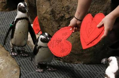 African penguins receive valentines from biologist Crystal Crimbchin at The California Academy of Sciences African penguin exhibit in San Francisco. The valentines will be used as nesting material.