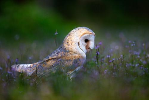 beautiful-wildlife: OwlbyStefano Ronchi