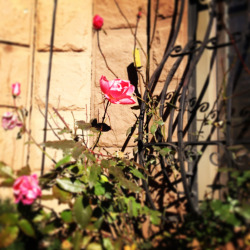 The Brooklyn winter roses just won't quit.