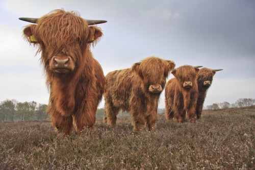 "thismaudlincareer:  llbwwb:  Schotse hooglanders (by Lambert Reinds)  This is the cutest thing ever, and somehow ""Schotse hooglanders"" makes it even cuter. I need to learn Dutch right now."