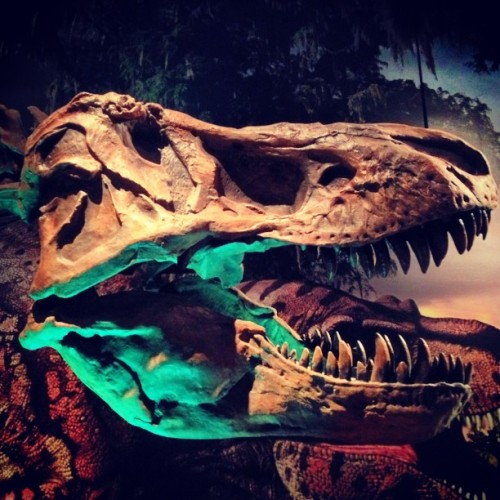 Our second full sized Tyrannosaurus rex on display. Yes, we have two. #ultimatedinos