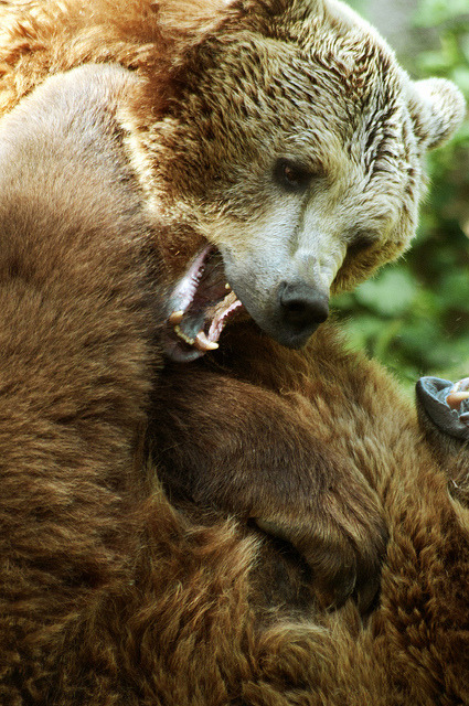 funnywildlife:  Playtime by Porfidax on Flickr. Brown bear brothers having a gnashing time!