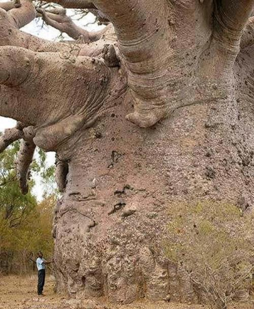 "mybelovedcheshire:  rhamphotheca:  Baobabs This is a Baobab tree (Adansonia digitata ). The genus is found throughout Africa and in Madagascar, some parts of Asia and Australia. They are often called ""the tree of life"". Their trunks often reach 7 - 11 m in diameter, and the Glencoe baobab (usually considered the largest in existence, in south africa) had a diameter of 15.9 m until it split into two parts a few years ago. A single tree can hold up to 4,500 L (1,189 gal) of water. (via: I Fucking Love Science)  the part of me that is terrified by the awesomeness of nature needs that to be a very, very, very tiny man  IT'S THE GREAT DEKU TREE!!!! IT EVEN KINDA LOOKS LIKE HE HAS A FACE!!"
