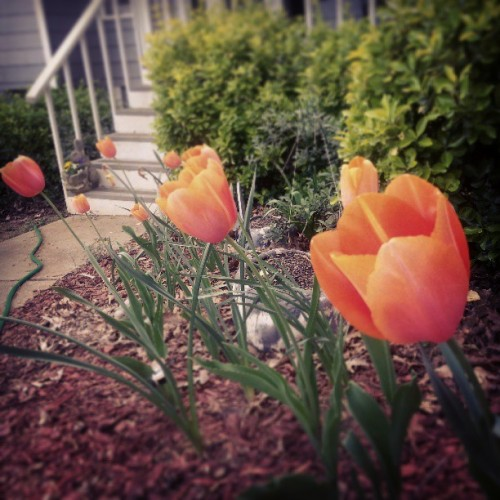 I love my tulips!
