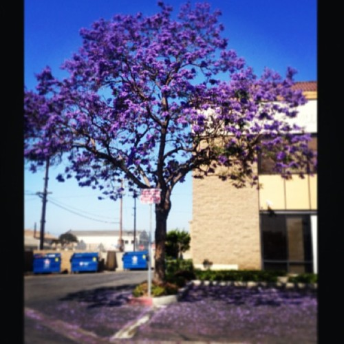 rootothekie:  My kind of tree.:) #lavender #purpletree #cali #missingcali #gorgeous #nature