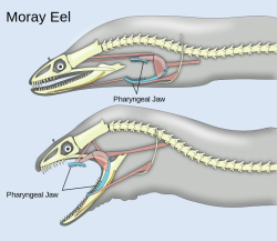 Moray eels are a type of fish belonging to the family Muraenidae. Perhaps one of their most interesting qualities, morays have a second jaw (think Alien), called the pharyngeal jaw, that helps them consume food. This particularly comes in handy because the size/shape of moray eel mouths make it incapable of producing the negative force that helps other types of fish suck food in. Instead, morays catch their prey with their primary jaw and the pharyngeal jaws come forward to pull the food in further, preventing escape. (Source)