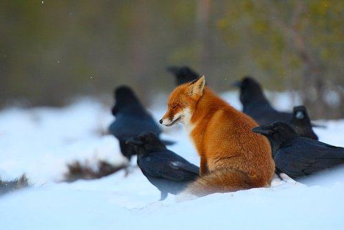 earthandanimals:  Red fox sits among Ravens. Source