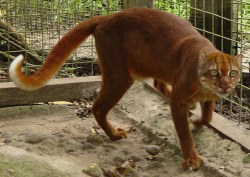 rhamphotheca:  Cats on the Brink - Endangered Felids:  Bornean Bay Cat by Jaymi Heimbuch This is the Bay Cat, and it may disappear from the planet before we even learn anything about it. This, like the flat-headed cat, is not a well-studied species and researchers know very little about it. Indeed, it wasn't even photographed until 1998! The Bay cat is found only in Borneo, and is quickly disappearing due to the deforestation of its habitat for commercial logging and oil palm plantations. Only an estimated 2,500 of these cats exist, and the population is in decline. This may be a species that remains a mystery until it disappears. (read more: TreeHugger)                       (photo: Jim Sanderson)