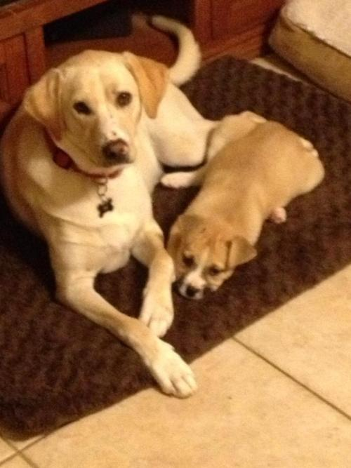 This is Gracie (available for adoption) with her foster brother. We think she may be an Akita mix, she's a large breed pup and is such a sweetie - get your apps in and please share her - you never know who's looking for a best friend.