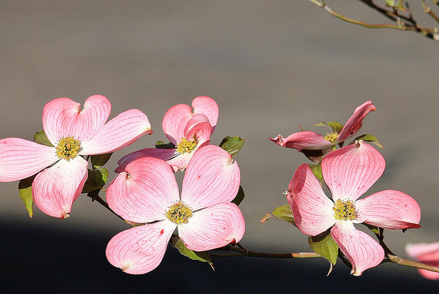 alice44:  Pink Dogwood Blossoms on Flickr.