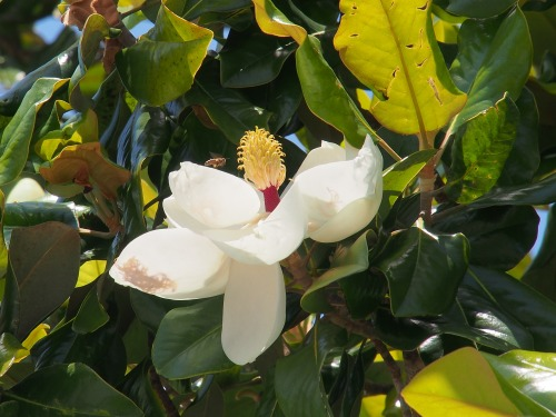 Bee and Magnolia Blossom