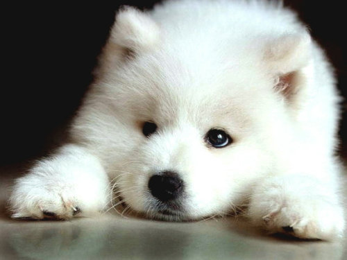 The puppyyyyy.. I love Samoyeds. [via theanimalblog:]  Samoyed. Photo by Randi Marshall