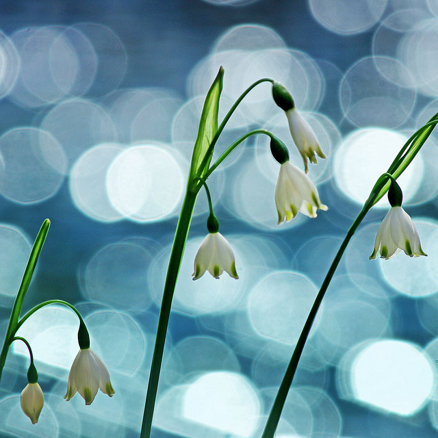 White bells on a pond by tanakawho on Flickr.