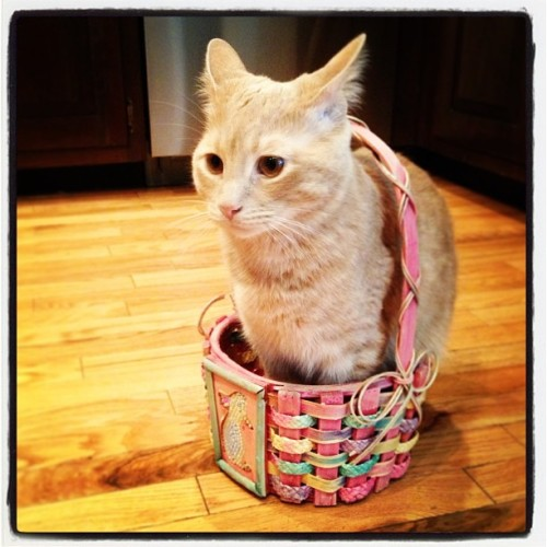 Tiny doesn't like sitting in #Easer baskets, but he does it anyway. #meow