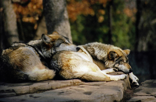 lensblr-network:  Sleeping wolves by Paul Schroeder  (paulschroederphoto.tumblr.com)
