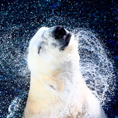 theanimalblog:  A polar bear plays in a pool in South Korea's largest amusement park Everland, in Gyeonggi-province.  Picture: EPA/JEON HEON-KYUN