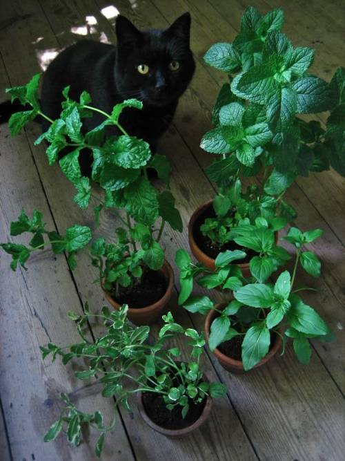 Clockwise from top – Spanish Mint, Basil Mint, Pineapple Mint and Tashkent Mint