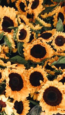 Sunflower Wallpapers Tumblr