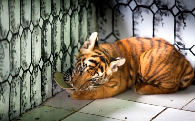 A  2 months old baby Bengal tiger chews on a hat at the Ragunan Zoo in Jakarta, Indonesia.  Picture: Donal Husni/Barcroft Media