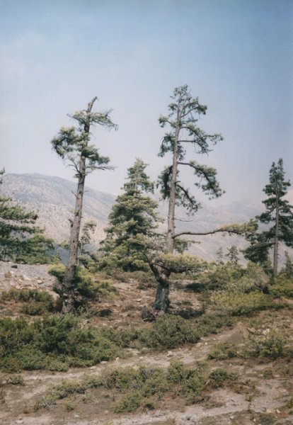 (via V.D. - Some windy trees - #1)
