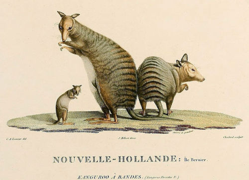 heaveninawildflower:  Banded hare-wallabies of Bernier Island (1807). Charles-Alexandre Lesueur. Source - http://www.flickr.com/photos/biodivlibrary/7979792552/in/set-72157631519809640 via Wikimedia.