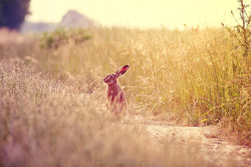 animals-animals-animals:  Jackrabbit (by Wiku2707)