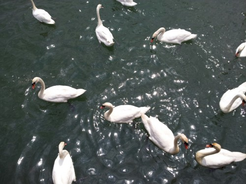 We fed the swans today.