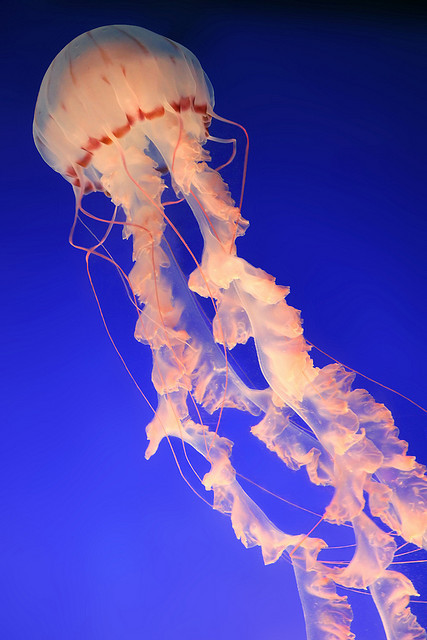 satvrn:  Jellyfish by lmiyake on Flickr.