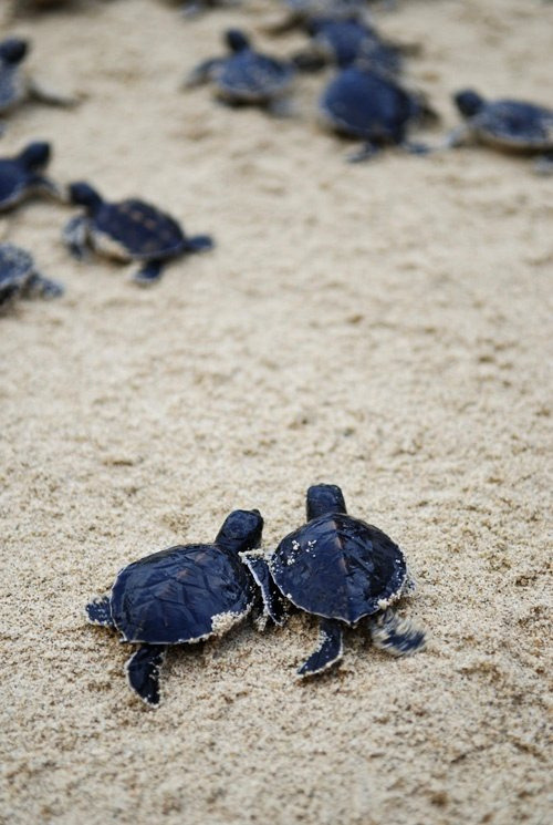 senerii:   two baby turtles heading to the sea