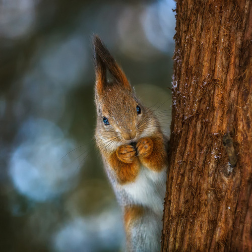 squirrel by Dmitry Laudin