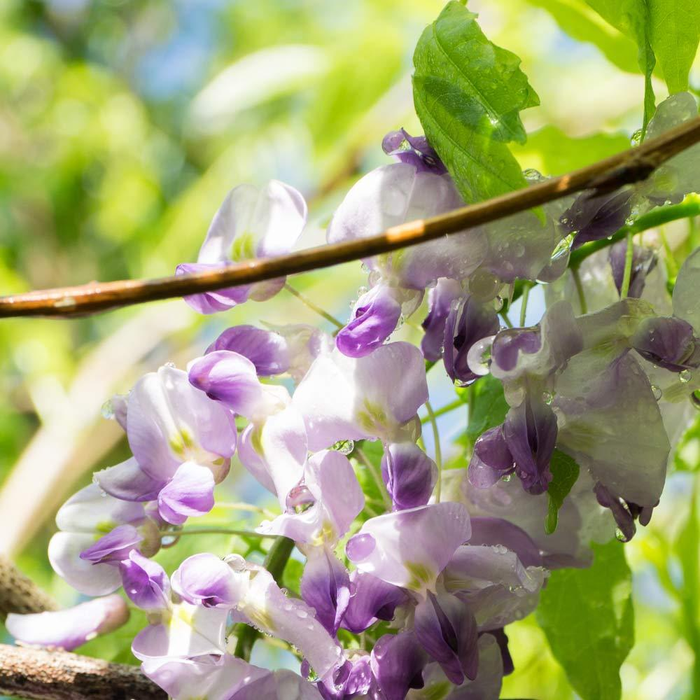 屋久島の藤の花 クローズアップ