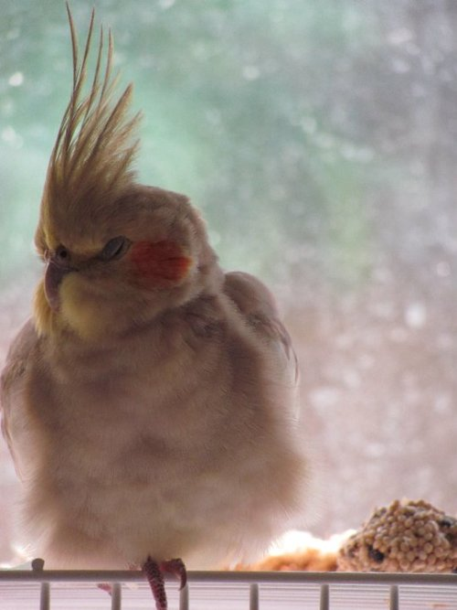 fat-birds:  mustardhills: My bird, Cinnamon. We call her Beepers 'cause she beeps. i literally cannot with this bird